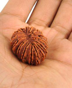 15 Mukhi Rudraksha